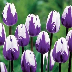 tulip-purple-flower-garden-design_10127.thumb.jpg.b1bc87e6defe8c40e06756226d785404.jpg