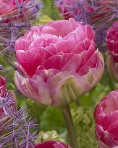 tulipa-exclusive-tulips.thumb.jpg.45c515fbf0a8e4696c9a394aa4254582.jpg