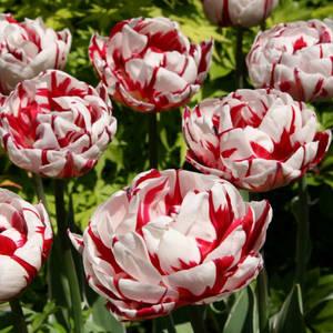 tulipa-tulip-carnaval-de-nice-be7.thumb.jpg.e02a8aac6cbb23dbf7a9a7fba0ea4ba4.jpg