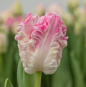 tulips.thumb.jpg.9018d4b9ac40bb8ba1d751330159ecde.jpg