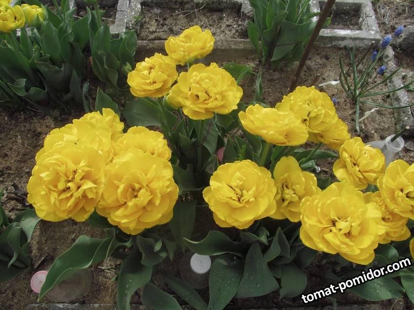 Желтые махровые тюльпаны