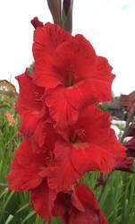гладиолус Красный с желтым зевом.jpg