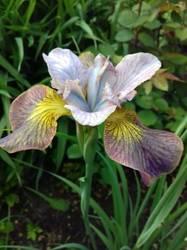 iris sibirica Uncorkedd.jpg