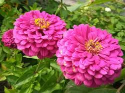 махровые розовые цинии.jpg
