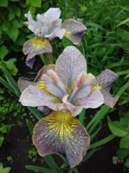 iris sibirica Unbuttoned Zippers.jpg