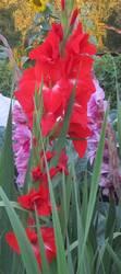 гладиолус красный с белым зевом.JPG