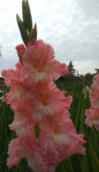 гладиолус Розовый фламинго.jpg