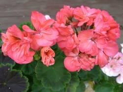 пеларгония темно-розовая махровая.jpg