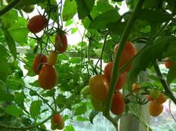 помидоры Пересорт Грушевого апельсина.jpg
