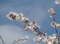 Абрикосы цветут в начале мая