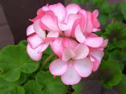 пеларгония розовая с краевым напылением.jpg