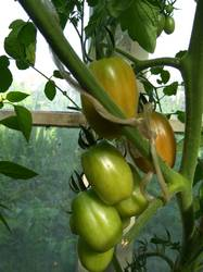 помидоры Грушевый апельсин.jpg