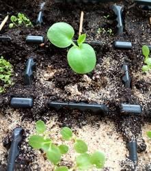 Герань Мулен Руж , виола и петуния из своих семян.