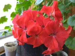 пеларгония из осеннего черенка цветет.jpg