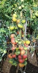 гном Loxton Lad (пересорт? расщепление? цвет плодов вместо оранжевого красный) ОГ 10.08.2019