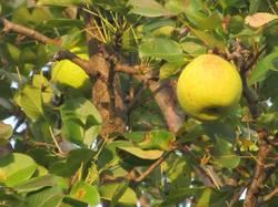 первые яблоки на Макинтоше.JPG