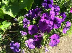 петуния фиолетовая.jpg