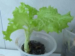 салат из магазина из остатка корня с пеньком.jpg
