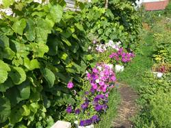 петунии под виноградом.jpg