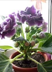 Комнатные растения (Геснериевые, цитрусовые и другие)