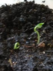 росток томата из обрезанного семечки1.jpg