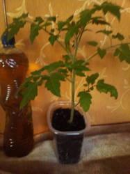 Томат черри Аккордеон 19 дней с цветочной кистью