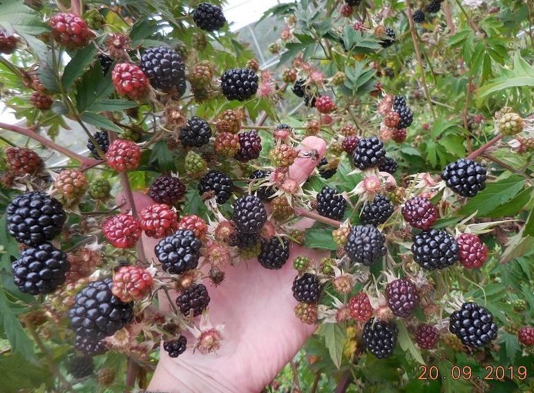 Поспели ягодки