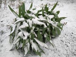 лук Суворова в снегу.jpg