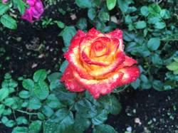 Зимние розы Болгарии