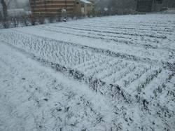 чеснок и лук в снегу.jpg