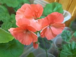 цветет пеларгония из мартовского черенка.jpg