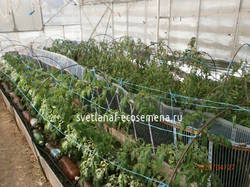 томаты 27-04-2020