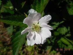 Арапахо. Форма цветка