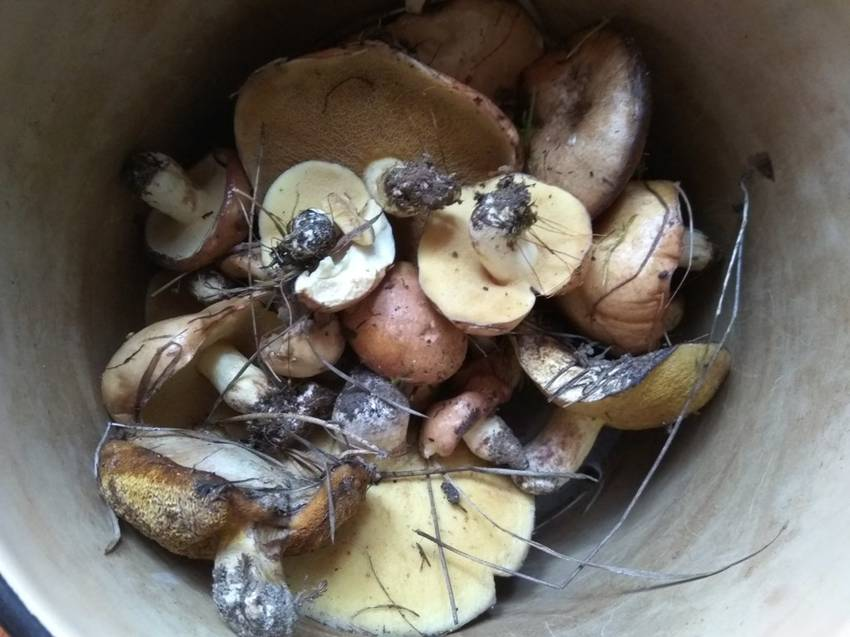 грибы маслята в мае.jpg