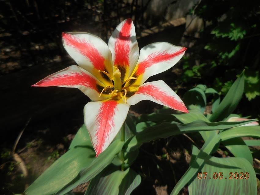 Первый тюльпан
