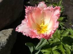 тюльпан из новых другой1.jpg