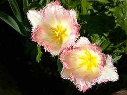 тюльпан из новых другой2.jpg