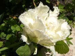 тюльпан белый махровый да еще и бахромчатый.jpg
