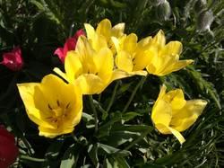 тюльпаны поздние желтолимонные.jpg