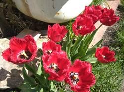 тюльпан бахромчатый2.jpg