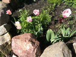 тюльпаны 2 сорта из новых.jpg