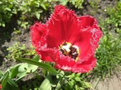 тюльпан бахромчатый1.jpg