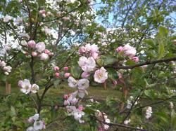 цветет яблоня Макинтош.jpg