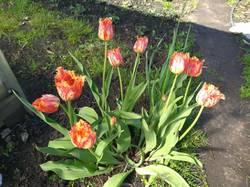 тюльпаны пестрые бахромчатые.jpg