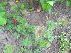 красно-малиновые прострелы завязали семена.jpg