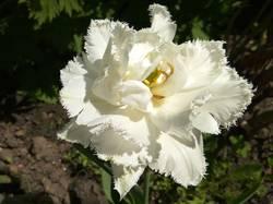 тюльпан белый махровый да еще и бахромчатый2.jpg