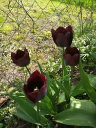 самые темные тюльпаны.jpg