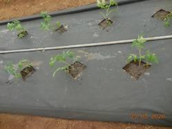 Посадила томатики.