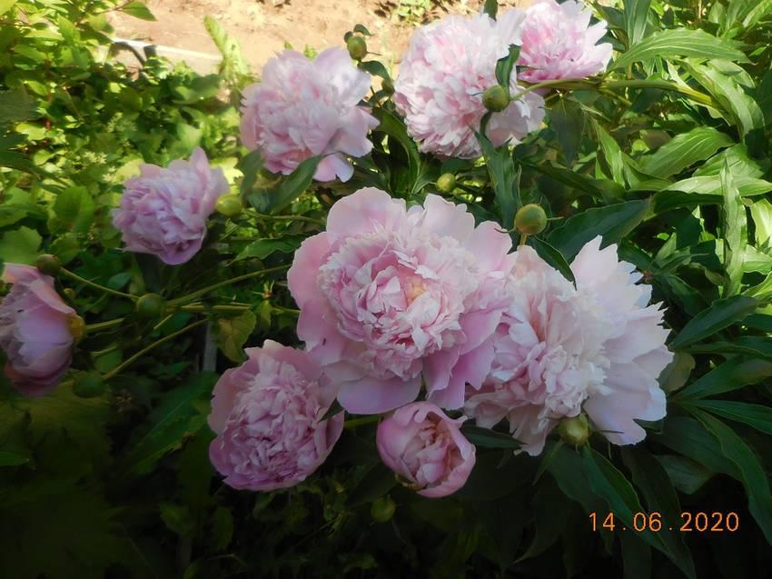 Розовый, после ливня нагнуло от тяжести...