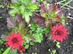 маришкины хризантемы.jpg